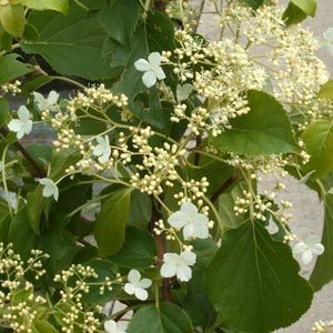 Plantas trepadoras: Hortensias trepadoras