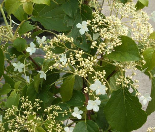 Hortensia trepadora - Semillas de hortensias ...