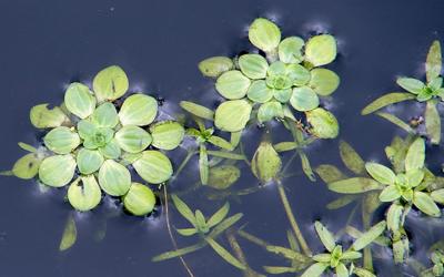 Plantas acuáticas: Callitriche