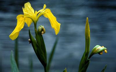 Plantas acuáticas:Lirios