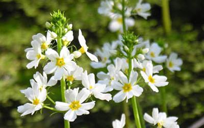 Plantas acuáticas: Violeta de Agua