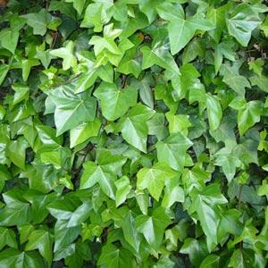 Plantas trepadoras: Yedra