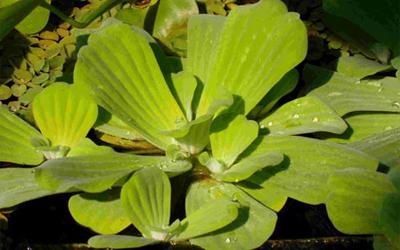 Plantas acuáticas: Lechugas de agua