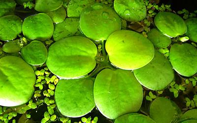 Plantas acuáticas: Lentejas de agua