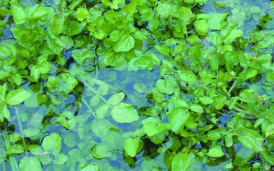Plantas acuáticas:Mastuerzo acuático o Berro